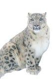 Léopard de neige sur le fond blanc Photos stock