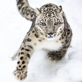Léopard de neige sur le vagabondage VI Photo stock