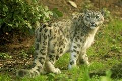 Léopard de neige (uncia d'Uncia) image libre de droits