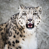 Léopard de neige XIII Photographie stock
