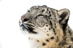 Léopard de neige XIV Image libre de droits