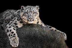 Léopard de neige XXII image stock