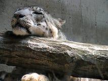 Léopard de sommeil Photo libre de droits