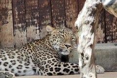Léopard de sommeil Photographie stock libre de droits