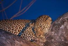 Léopard dormant sur l'arbre Photographie stock libre de droits
