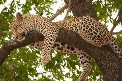 Léopard dormant sur l'arbre Images stock