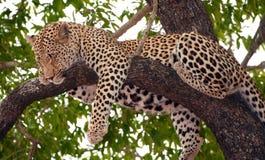 Léopard dormant sur l'arbre Photo libre de droits
