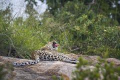 Léopard en parc national de Kruger, Afrique du Sud image libre de droits