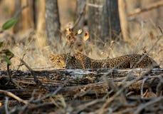 Léopard en parc national de Pench Photos libres de droits