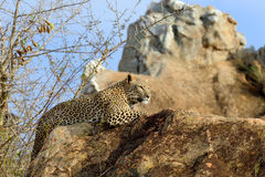 Léopard en parc national du Kenya Photos libres de droits