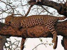 Léopard en sommeil dans l'arbre au coucher du soleil Photographie stock libre de droits
