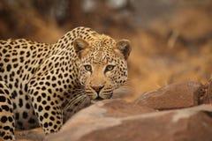 Léopard en stationnement national de Kruger Photos stock
