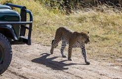 Léopard femelle marchant devant le pare-chocs et le pneu du vechicle de safari Photographie stock