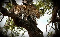 Léopard grimpant vers le bas à l'arbre Photographie stock libre de droits