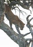 Léopard grimpant vers le bas à un arbre dans la lumière de soirée au masai Mara Photos libres de droits