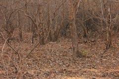 Léopard indien Photo libre de droits