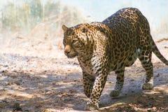 Léopard indien images stock