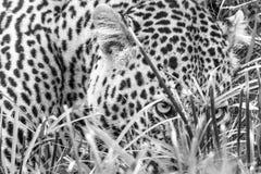 Léopard jetant un coup d'oeil par l'herbe images libres de droits