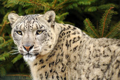 Léopard, léopard de neige Image stock