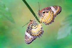 Léopard Lacewing (cyane de Cethosia) Photos libres de droits