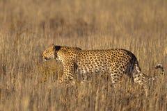 Léopard marchant dans l'herbe Image stock