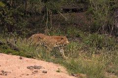 Léopard marchant dans la brosse Image libre de droits
