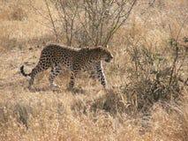 Léopard marchant par le buisson Photographie stock libre de droits