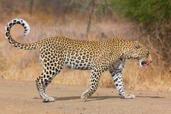 Léopard marchant sur la route Photo stock