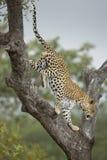 Léopard masculin (pardus de Panthera) Afrique du Sud image libre de droits