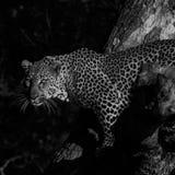 Léopard monochrome dans l'arbre images stock