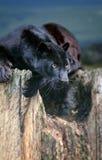 Léopard noir Photos libres de droits