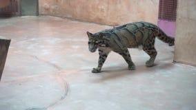 Léopard opacifié marchant dans la cage dans le zoo clips vidéos