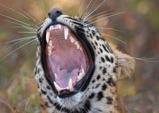 Léopard (pardus de Panthera) Image libre de droits