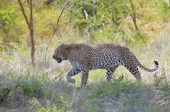 Léopard (pardus de Panthera) Image stock