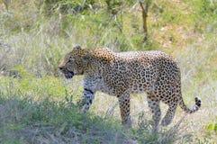 Léopard (pardus de Panthera) Photographie stock libre de droits