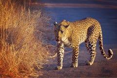 Léopard (pardus de Panthera) Images libres de droits