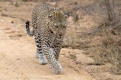 Léopard (pardus de Panthera) Photographie stock