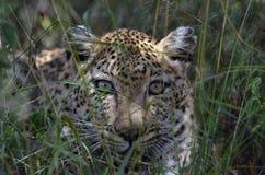 Léopard (pardus de Panthera) photos libres de droits