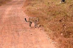 Léopard (pardus de Panthera) marchant sur la route Photographie stock