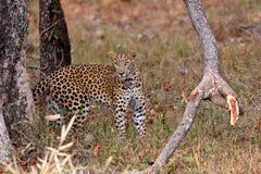 Léopard (pardus de Panthera) regardant l'appareil-photo Images libres de droits