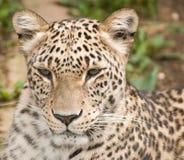 Léopard persan Photo stock