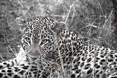 Léopard Sabi Sand Safari South Africa noir et blanc photo stock