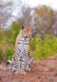 Léopard se reposant dans la savane Images libres de droits