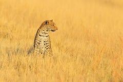 Léopard, shortidgei de pardus de Panthera, portrait caché dans l'herbe jaune gentille Grand chat sauvage dans l'habitat de nature images libres de droits