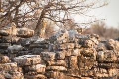 Léopard sur des roches Photos stock