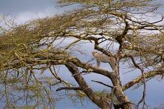 Léopard sur l'arbre Photographie stock libre de droits