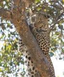 Léopard sur l'arbre photographie stock