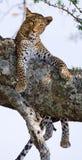 Léopard sur l'arbre Stationnement national kenya tanzania Maasai Mara serengeti photographie stock
