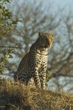 léopard sur la côte Images libres de droits