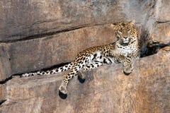 Léopard sur une observation de roche Photographie stock